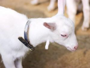 山羊の肉垂
