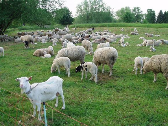 山羊と羊の違いは?鳴き声でヤギかヒツジか見分けられる ...