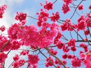 緋寒桜沖縄の桜の写真